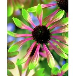 Jeżówka różowo-zielona - Green Envy - 1 szt.