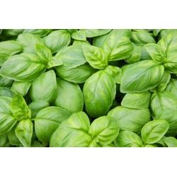BIO Bazylia zielona - Certyfikowane nasiona ekologiczne - 650 nasion