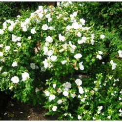 Ketmia syryjska, hibiskus William R. Smith - sadzonka P9