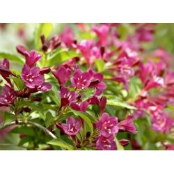 Krzewuszka cudowna Aurea sadzonki