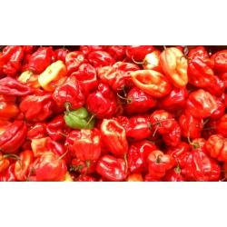 Papryka Habanero - piekielnie ostra - 25 nasion