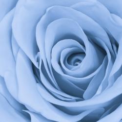 Róża wielkokwiatowa niebieska
