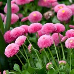 Stokrotka pomponette - różowa - 690 nasion