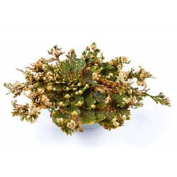 Róża jerychońska - Selaginella