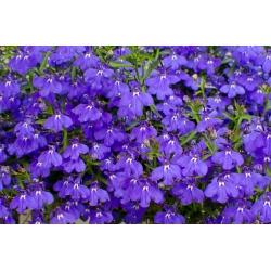 Lobelia zwisła szafirowoniebieska - 6400 nasion