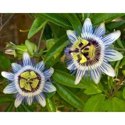 Męczennica błękitna - 22 nasiona