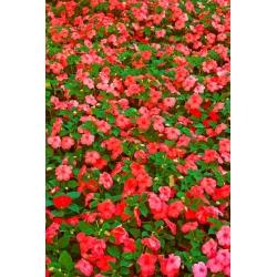 Niecierpek Waleriana czerwony - 80 nasion