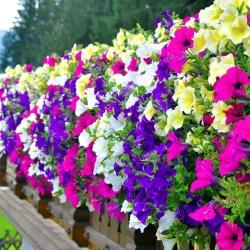 Petunia - Mieszanka balkonowa - 800 nasion