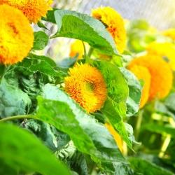 Słonecznik pełny karłowy - 90 nasion