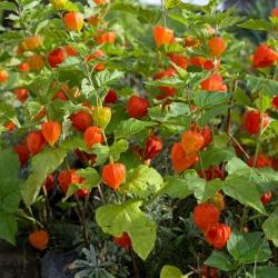Miechunka ogrodowa - 165 nasion