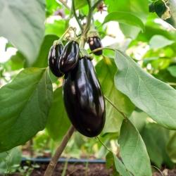 Oberżyna Black Beauty - 210 nasion