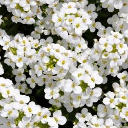 Gęsiówka alpejska - biała - 1170 nasion