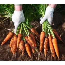 Marchew Lenka - średnio wczesna - 4250 nasion