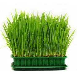 Trawa dla kotów – pokarm ułatwiający trawienie