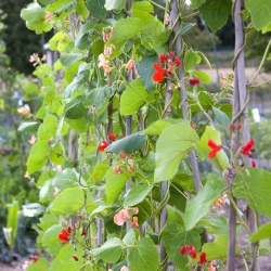 Fasola ozdobna pnąca - 7 nasion