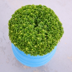 Bazylia grecka o kulistym pokroju - Minette - 1300 nasion