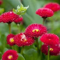 Stokrotka pomponette - czerwona - 690 nasion