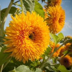 Słonecznik ozdobny wysoki - pełny - 80 nasion