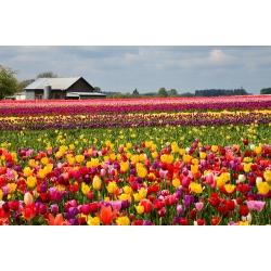 Tulipan Mix - mieszanka odmian - opak. 5 cebulek