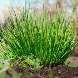Szczypiorek - 1700 nasion