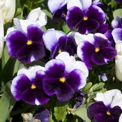 Bratek wielkokwiatowy - fioletowo-biały - 250 nasion