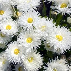 Złocień o kwiatach półpełnych Crazy Daisy - 160 nasion