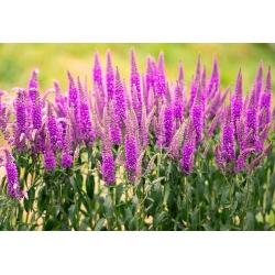 Przetacznik kłosowy - różowy - 3000 nasion