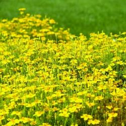 Aksamitka wąskolistna złotożółta - 390 nasion