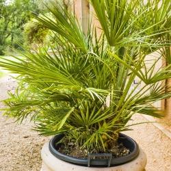 Palmy - mieszanka - 5 nasion