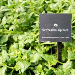 Szpinak nowozelandzki - 70 nasion