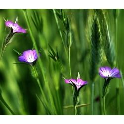 Kąkol - 50 nasion