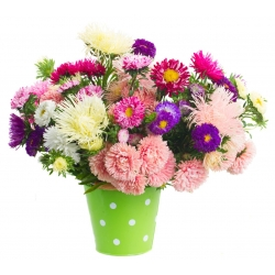 Astry do uprawy na kwiat cięty – mieszanka - 500 nasion