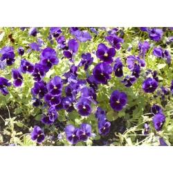 Bratek wielkokwiatowy – niebieski z czarną plamą - 400 nasion