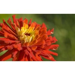 Cynia kaktusowa – mieszanka - 120 nasion