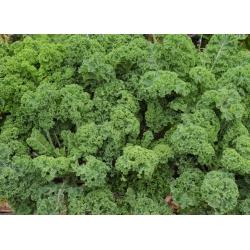 Jarmuż Halbhoher grüner krauser - 300 nasion