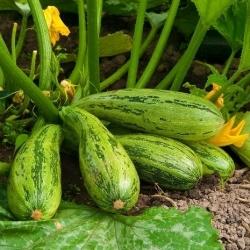 Cukinia Nimba - 12 nasiona