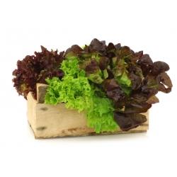 Sałata – mieszanka odmian - 450 nasion