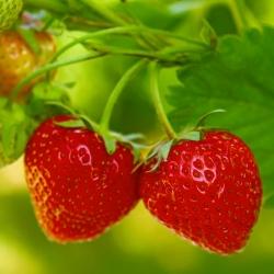 Truskawka Tresca - bardzo długo owocująca! - 60 nasion