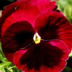 Bratek wielkokwiatowy - czerwony z czarną plamą - 400 nasion