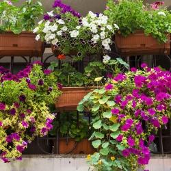 Mieszanka balkonowa - 90 nasion