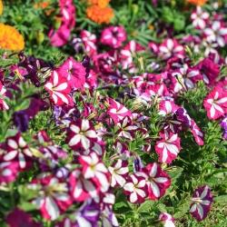 Petunia o kwiatach dwubarwnych - mieszanka - 80 nasion