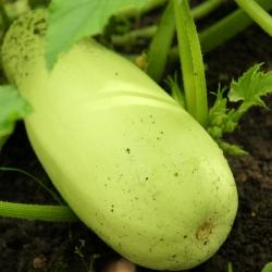 Kabaczek Long White Bush 2 - 14 nasion