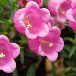 Dzwonek ogrodowy - mieszanka kolorów - 2000 nasion