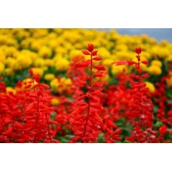 Szałwia błyszcząca - czerwona - 140 nasion