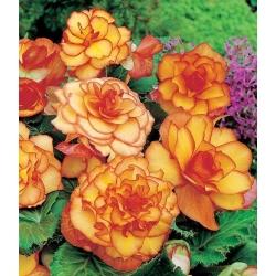 Begonia żółto-pomarańczowa - Picotee