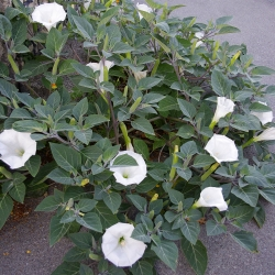 Bieluń surmikwiat o kwiatach białych - 28 nasion