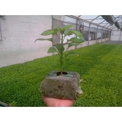 GrowBlock - Pęczniejąca doniczka torfowa - 8 x 8 cm