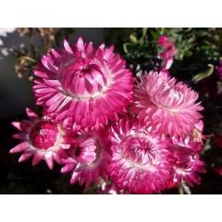 Kocanka ogrodowa, nieśmiertelnik - różowa - 1250 nasion