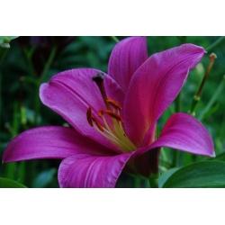 Lilia drzewiasta OT Purple Prince - 1 cebula