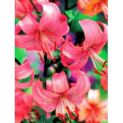 Lilia tygrysia - Pink Tiger - 1 cebula